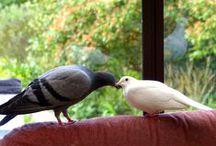 Love-A-Dove