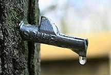 Tapped / Harvesting Sap to make maple syrup / by Woodchuck Cider