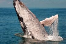 HUMPBACK WHALES / I love humpback whales and have had a few amazing encounters with them. Some of these are my photos