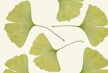 Ginkgo Leaves / Ginkgo leaves