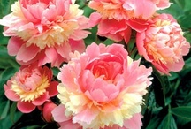 Peonies, Hostas, and Gladiolus / by Glenda McOsker