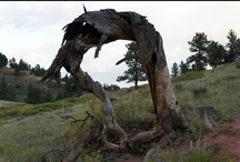 Dead Trees once so stately / by Carol Hertzke