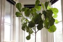 Fiddle Leaf Fig: Chic Little Houseplant / Ready to hear one of my favorite decorator secrets?  The Fiddle Leaf Fig Houseplant is used in almost EVERY high-end designer room. They look fabulous. And they're not that expensive!