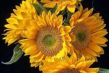 Sunflowers My Fav