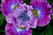Irises / Irises are my favorite flower. I love June in Unalakleet, AK, where they grow wild.  / by Virginia Degnan