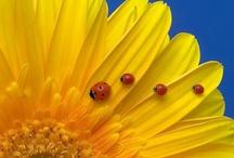 Leppiksiä - Ladybugs