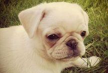 THE Pug 巴哥犬