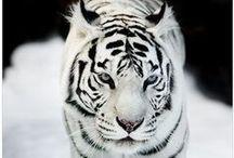 Big Cats Felidae