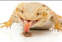 Bearded Dragon (Pogona)