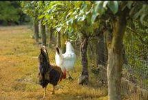 Chickens / by Melanie Wood