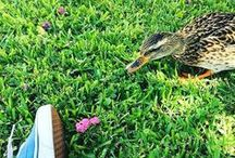 Ducks of Cypress / Ducks. Our unofficial Chargers.