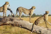 Safaris in Africa  / These are a sample of photos to give you a taster of what a luxury safari is like in Africa.