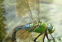 dragonflys or flies / by Barbara Carola