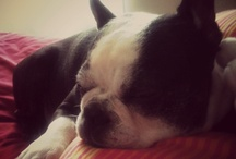 Gotta love Boston Terriers! / by Diana H