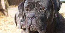 Cane Corso Italiano, Italian Mastiff / Pictures of Cane Corso, Italian Mastiff from kennel: Ariston Call of Duty. https://www.aristoncanecorso.com