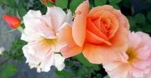 Rose Gardens / There's a reason the rose is called the queen of flowers!
