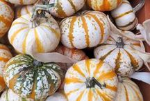Pumpkin Varieties & Ideas / The beautiful specialty pumpkins we have this fall are great for decorating and they're tasty too!  Check out our Pumpkin Recipe board as well.