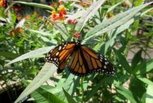 Butterflies & Pollinators / Provide nectar sources, water and host plants to attract butterflies and other pollinators to your garden.