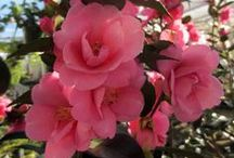 Camellias, Hydrangeas and more! / Real gardeners know that shrubs are not boring :)