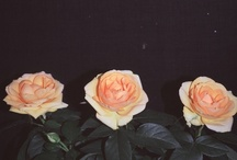 roses / by kayleigh