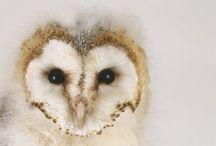 Owls / T-wit-t-woo