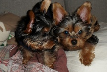 <3..YORKIES..<3 / by Canh Vo