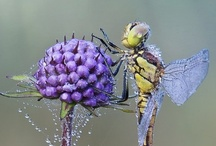 FLYing pretty.... / Dragonflies, Butterflies, Bees, and more......