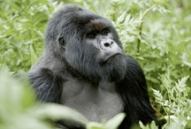 Majestic Rwanda / What's on your bucket list? Would you like to explore Rwanda and head up into the Volcanoes National Park looking for gorillas? We have some amazing savings for 2013's Majestic Rwanda tour so get in touch.