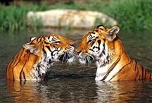 Wild Cats / Big, beautiful, wild felines