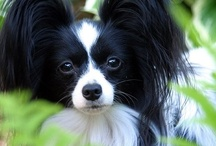 Dogs I Love--Toy Breeds