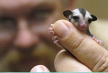Baby Love.  {Sugar Gliders} / Little things come in big packages / by ♥ Debby Johnson   دبي جوهنسون