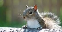 Squirrels / Unofficial mascot of Drury University