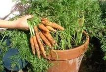 Vegetable Garden / Vegetable Gardening