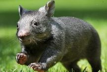 Love Cute Wombats / This board is about cute wombats.