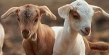 Love Cute Goats / Sharing the cutest goats in the world!