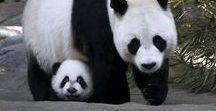 Love Cute Pandas / Sharing the cutest pandas in the world!