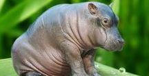 Love Cute Hippos / Sharing the cutest hippos in the world!