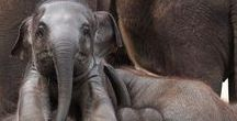Love Cute Elephants / Sharing the cutest elephants in the world!