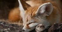Love Cute Foxes / Sharing the cutest foxes in the world!