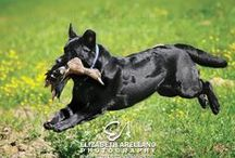 Modern Gun Dog / It's a Lab Thing's salute to the Alpha Gun Dog. Master of the Field Trial, Top Dog of the Hunt and the Best at the Retrieve. / by It's a Lab Thing