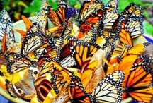 Save the Monarchy / More than just monarchs. How to attract beneficial bugs: butterflies, ladybugs, and dragonflies. (Bees have their own board: The Bee's Knees).