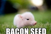 Bacon (survival) / Bacon, everything bacon, tactical bacon, kevin bacon movies, canadian bacon, bacon pancakes, bacon wrapped scallops, bacon recipes, bacon recipes, candied bacon, bacon roses, chocolate covered bacon, bacon jam, bacon condoms, bacon wrapped meatloaf, bacon vodka, survival, survival bacon, bacon obsession, canned bacon, canning bacon, tactical bacon, canning, survival food, survival calories, survival nutrition, protein, fat, three weeks, rule of threes survival