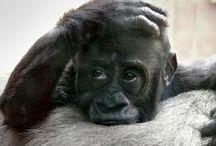 zoo - gorila ...