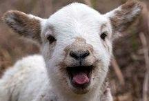 zoo - ovce, kozy...