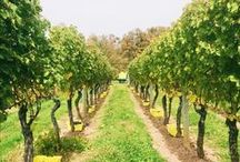 { Harvest at Waltz Vineyards } / Harvest process at Waltz Vineyards Estate Winery- Manheim, PA