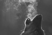 wolf&cat
