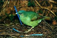 """Bowerbirds / Fascinating birds.. the males design an elaborate """"bower""""  to attract females, complete with color-themed decor.  The female is entertained as the male performs in front of his bower.  She may visit many such bowers, before finally choosing a mate. / by Davia Bailey"""