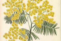 Botanical illustrations and prints / Botanical illustrations and prints