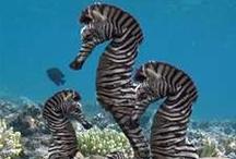 *{animals}* swimming seahorses / by Jo Wilson