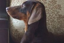 Dogdom: Dachshund / Rulers of your heart and home. / by Edna Lötter Botha